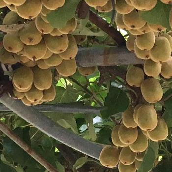 キウイフルーツの画像