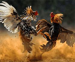 sabung ayam anzbet