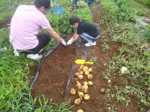 神奈川県 座間市 ジャガイモの植え付け大会、お子さんは夢中になりますよ~。