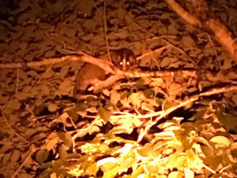 山梨県 富士河口湖町 遭遇率100%の 野生の鹿 観察会 in 西湖 ☆ 目の前に! 野生動物の息吹が聞こえます ~