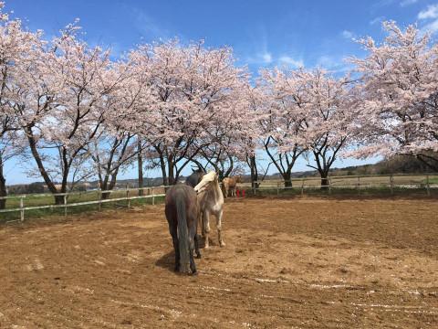 福井県 あわら市【乗馬体験】1日1組2人限定 ☆ 外乗り乗馬・ホーストレッキング1時間 ♪ 馬との散歩をゆっくりと楽しもう!