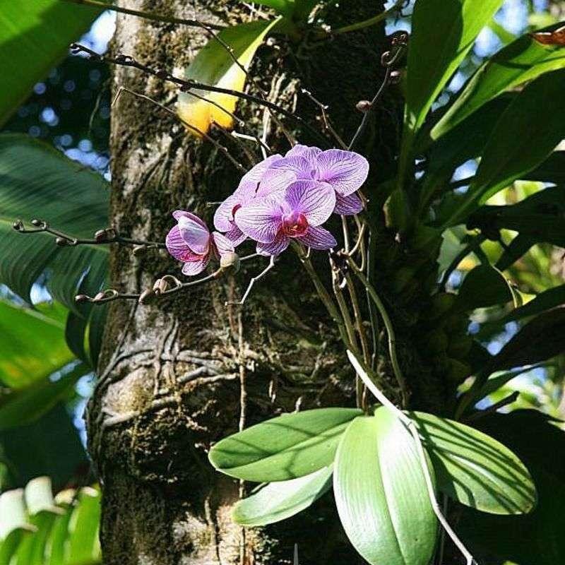 Phalaenopsis hybrid 1 800px