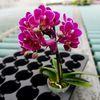 ピンク色の胡蝶蘭は女性への贈り物ギフトに人気!