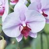 胡蝶蘭の人気色と適切なシーンとは?