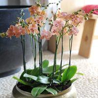 【品種別】胡蝶蘭の価格比較とおすすめ紹介