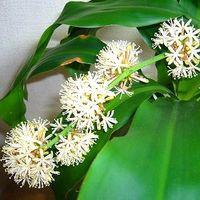 花の香りが名前の由来!ドラセナフラグランスを知ってますか?