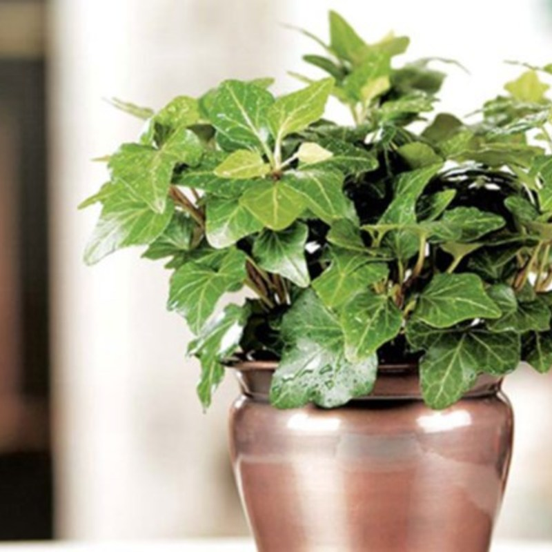 English ivy costa farms houseplant hero 2