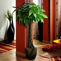 【風水の力!】観葉植物パキラで運気を上げる方位・置き場所