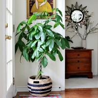 【初心者必見】パキラは病気知らずの優秀な観葉植物!