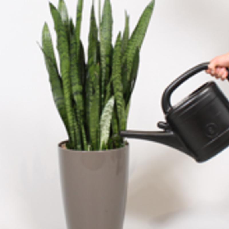 Sanseveria water geven