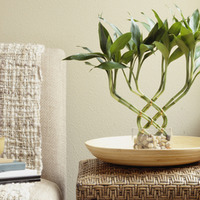 幸せが押し寄せる!ドラセナ ミリオンバンブー(幸福の竹)育て方