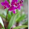 ミニ胡蝶蘭の育て方
