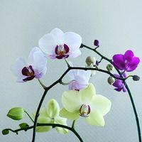 【必見】胡蝶蘭の大きさによる選び方ガイド