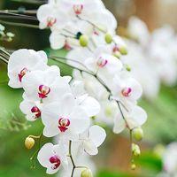 胡蝶蘭の蕾が落ちたり枯れたりした時の対処法まとめ