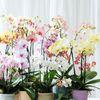 魅惑的!知っておきたい胡蝶蘭7種