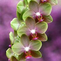胡蝶蘭の輸入についてと国内で買える人気おすすめTOP3!