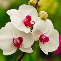 赤リップ胡蝶蘭が慶事のギフト選びをサポートします!