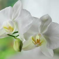 白色胡蝶蘭の花言葉とは?おすすめシーンも紹介!