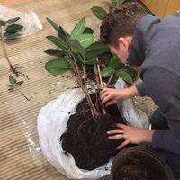 【全解説】ゴムの木(フィカス)の植え替え方法