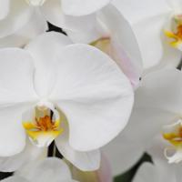 予算30,000円で最高の胡蝶蘭を贈る方法