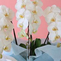 1万5000円で高級花の胡蝶蘭が買える?おすすめギフトシーンもご紹介