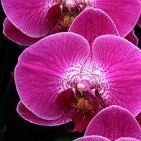 【用途別おすすめ】ピンクの胡蝶蘭を贈ってみませんか?