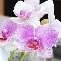 色鮮やか!ミックス胡蝶蘭の魅力とおすすめギフトシーンをご紹介