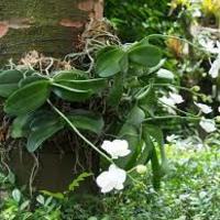 原産地での胡蝶蘭の飾り方に注目してみよう