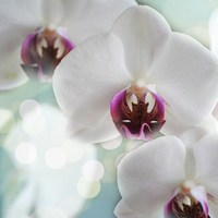 胡蝶蘭色別(白、ピンク、黄、青、紫)花言葉とシーン別種類・品種紹介