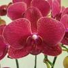 赤系胡蝶蘭を徹底解説!花言葉やおすすめ品種紹介