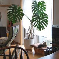 魅力たっぷり観葉植物モンステラのある暮らし