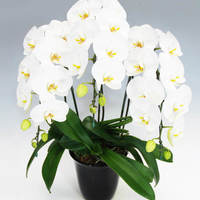 【すぐ選べる】通販の胡蝶蘭ギフトは生産者さんおまかせがお得で新鮮!