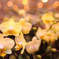 黄色い胡蝶蘭でギフトに差をつける!ふさわしいシーンとおすすめ3選のご紹介