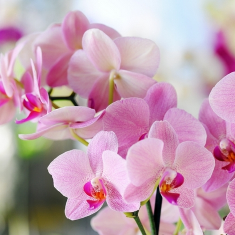Phalaenopsis content2
