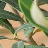 オリーブは種類がたくさん!育て方とおすすめ10選のご紹介