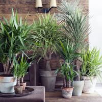 【厳選紹介】観葉植物のユッカの飾り方・育て方・お手入れ方法