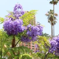 世界三大花木ジャカランダを通販で!価格や育て方もお任せ