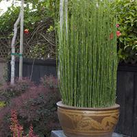 トクサは直立する茎が美しい丈夫で和モダンな観葉植物