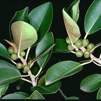 通販がおすすめ!おしゃれなフランスゴムの木(フィカスルビギノーサ)の育て方や飾り方