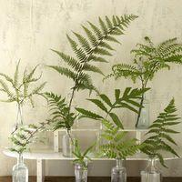 シダ系観葉植物の種類・品種と育て方