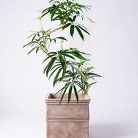 【厳選3つ】シェフレラ アンガスティフォリアは繊細な葉が人気の観葉植物