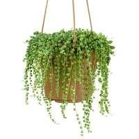 人気の多肉植物グリーンネックレス!育て方と可愛く飾るおすすめインテリア