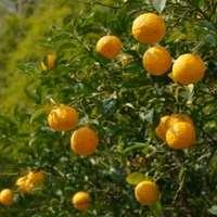 果樹を育てて楽しもう!柚子の育て方とおしゃれな活用法をご紹介