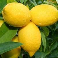 リスボンレモンは通販がおすすめ!美味しい実がなる素敵な観葉植物