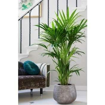 Howea forsteriana kentia palm the best palm for indoors large 140 160cm specimen bcb