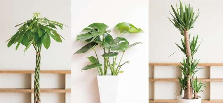Standard plants