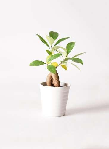 観葉植物 ガジュマル 3号 プラスチック鉢