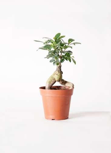 観葉植物 ガジュマル 4号 プラスチック鉢