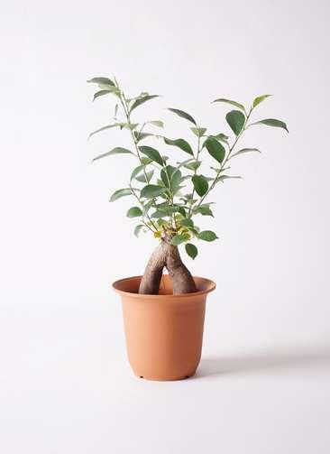 観葉植物 ガジュマル 5号 プラスチック鉢