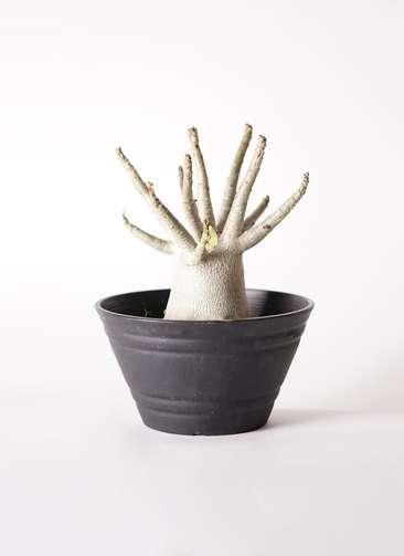 多肉植物 アデニウム アラビカム 6号 プラスチック鉢